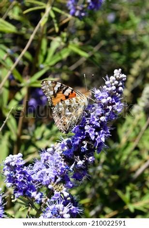 Butterfly on sapphirine flower close up - stock photo