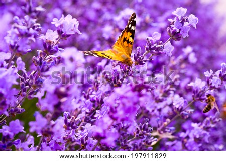 butterfly on the flowers of lavender - stock photo