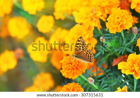 Butterfly on the orange flower  in the green grass in the morning rays, selective focus - stock photo