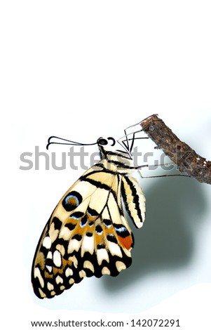 Butterfly on white background - stock photo