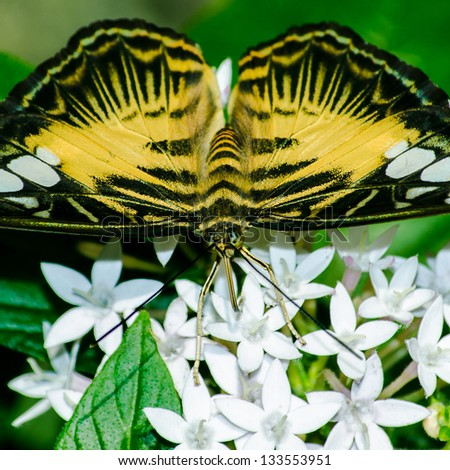 Butterfly on White Flowers - stock photo