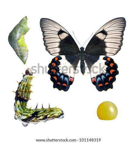 Butterfly, Orchard Swallowtail, Papilio Aegeus, life-cycle stages - stock photo