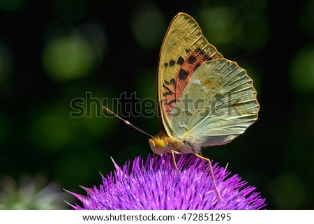 butterfly outdoor on flower (argynnis paphia)