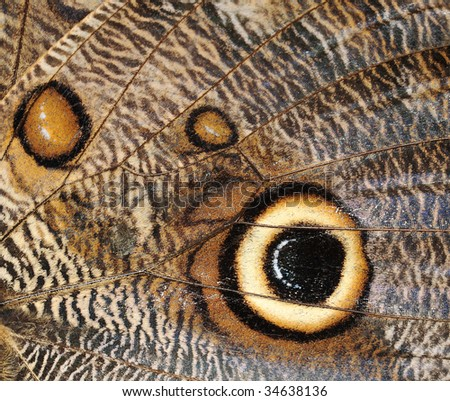 butterfly, owl wing close up, costa rica macro - stock photo