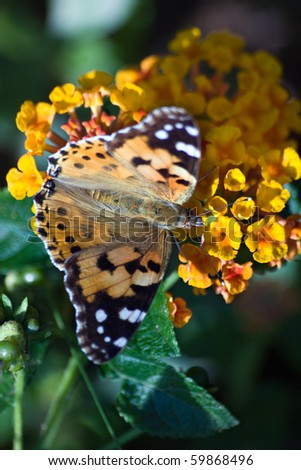 Butterfly Painted Lady (Vanessa cardui)