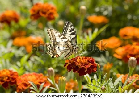 Butterfly Papilio machaon on orange marigold flower. - stock photo