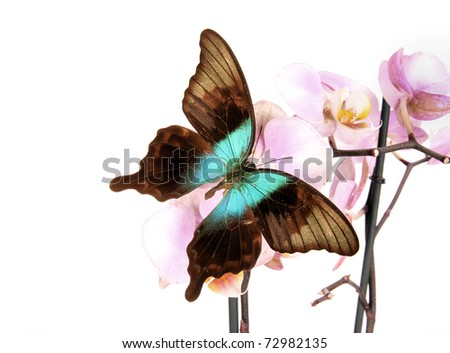 Butterfly papilio peranthus  isolated on white - stock photo