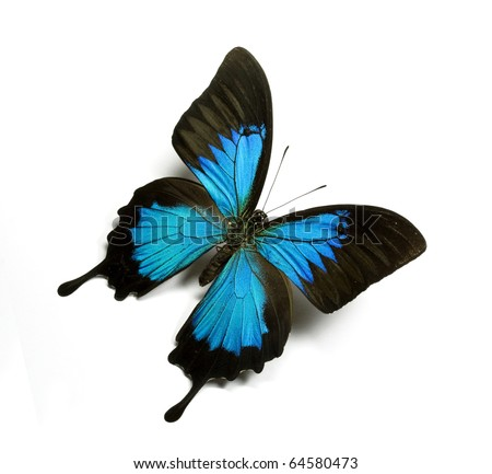 Butterfly papilio ulysses isolated on white - Mountain Swallowtail - stock photo