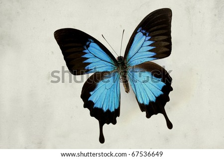 Butterfly papilio ulysses on vintage paper background - Blue Mountain Swallowtail - stock photo