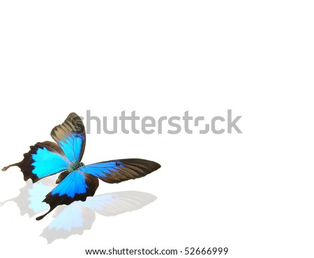 Butterfly papilio ulysses on white background - stock photo