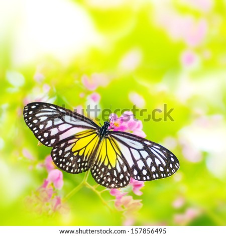 Butterfly. Parantica aspasia (Yellow Glassy Tiger) feeding on flower. - stock photo