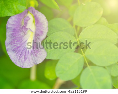 Butterfly pea flower in the summer garden. Close-up photo with natural light and colors. - stock photo