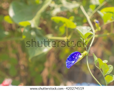 Butterfly pea is a tropical flower. It has a white and purple color. It's a one herbal in Thai medicine local style. Someone use to dye to make a black and healthy hair. - stock photo