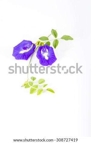Butterfly Pea  on white background, antioxidants herb - stock photo