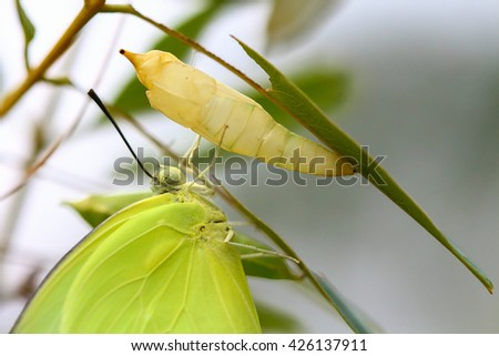 Butterfly perched on a pupa - stock photo