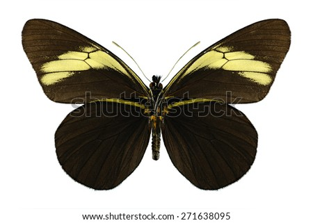 Butterfly Pereute charops (underside) on a white background - stock photo