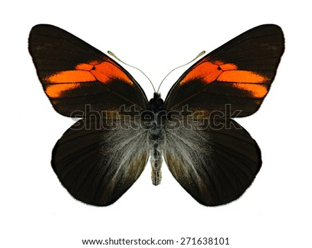 Butterfly Pereute leucodrosine on a white background - stock photo