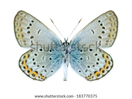 Butterfly Plebejus argus (male) on a white background - stock photo