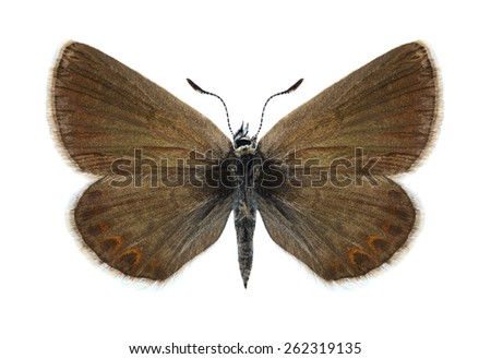 Butterfly Plebejus idas (female) on a white background - stock photo