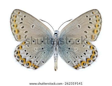 Butterfly Plebejus idas (male) (underside) on a white background - stock photo