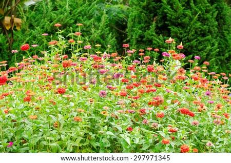 butterfly pollinate Zinnia flower in outdoor garden - stock photo