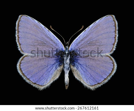 Butterfly Polyommatus icarus (male) on a black background - stock photo