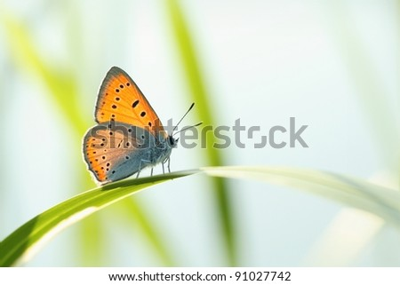 Butterfly (Polyommatus) on a blade of grass against a blue sky. - stock photo