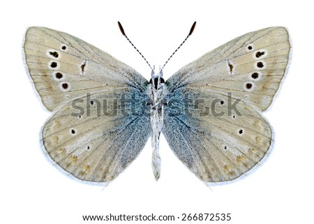 Butterfly Polyommatus phyllis (male) (underside) on a white background - stock photo