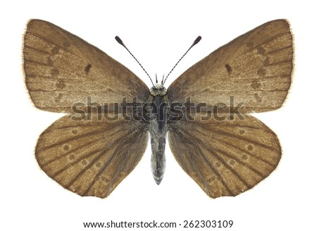 Butterfly Polyommatus ripartii (female) on a white background - stock photo