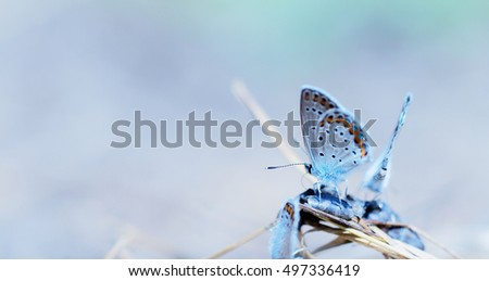 Butterfly ( polyommatus ) - with blue background