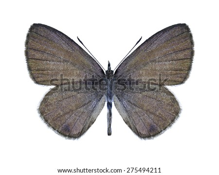 Butterfly Prosotas dubiosa indica (male) on a white background - stock photo