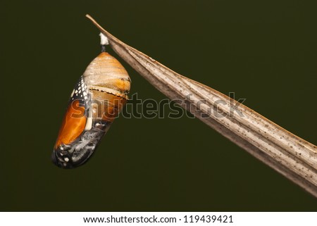 Butterfly Pupa - stock photo