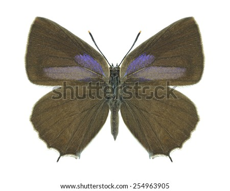 Butterfly Quercusia quercus (female) on a white background - stock photo