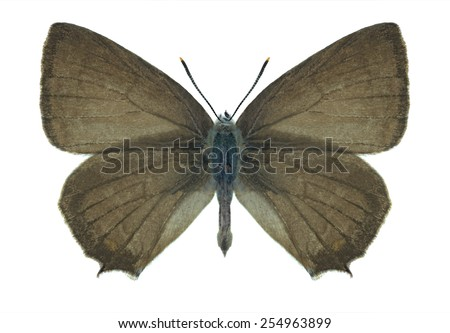 Butterfly Quercusia quercus (male) on a white background - stock photo