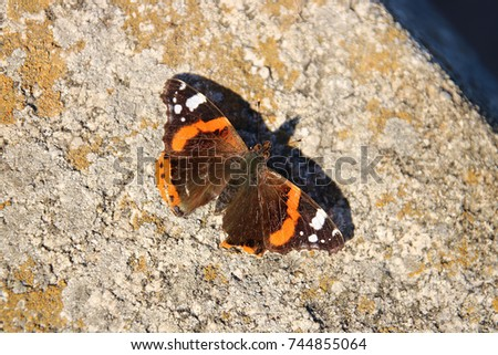 Butterfly Red Admiral (Vanessa atalanta)