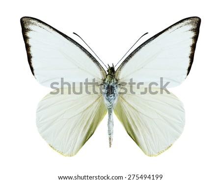 Butterfly Saletara liberia distanti on a white background - stock photo