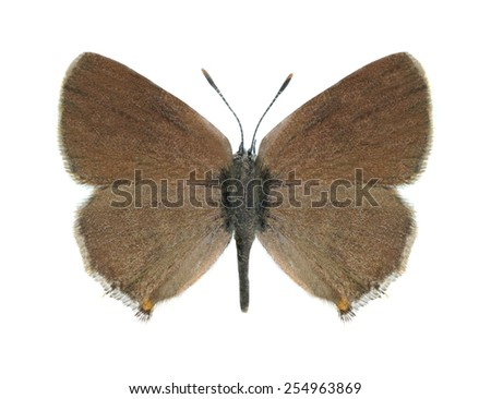 Butterfly Satyrium acaciae on a white background - stock photo