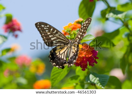 Butterfly series No.59, Colorful swallowtail butterfly flying and feeding under blue sky - stock photo