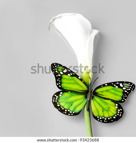 butterfly sitting on caal flower over grey background - stock photo
