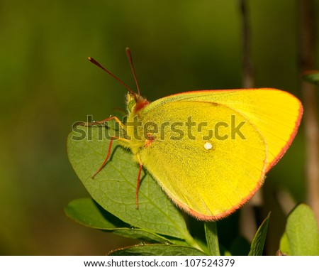 Butterfly sitting on the leave - Moorland Clouded Yellow