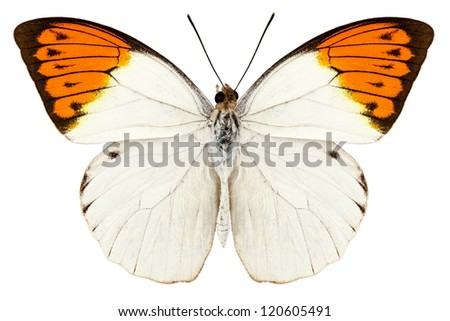 """Butterfly species Hebomoia glaucippe """"Great Orange Tip"""" in high definition with extreme focus isolated on white background - stock photo"""