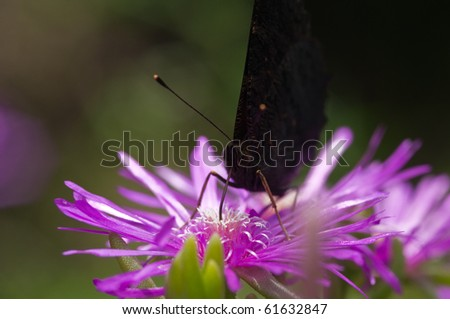 butterfly sucking nectar - stock photo