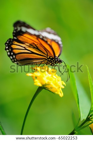 Butterfly sucking nectar from flower