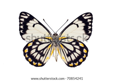 Butterfly underside, Caper White, Belenois java, male, wingspan 55mm - stock photo