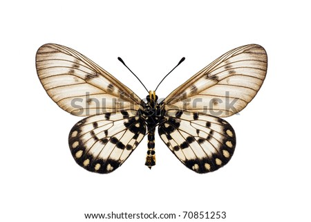 Butterfly underside, Glasswing, Little Greasy, Small Greasy, Acraea andromacha, male, wingspan 53mm - stock photo