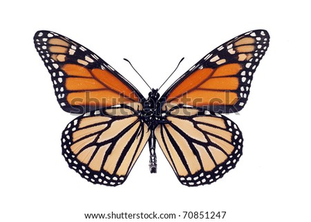 Butterfly underside, Monarch, Milkweed, Wanderer, Danaus plexippus, male, wingspan 93 mm - stock photo