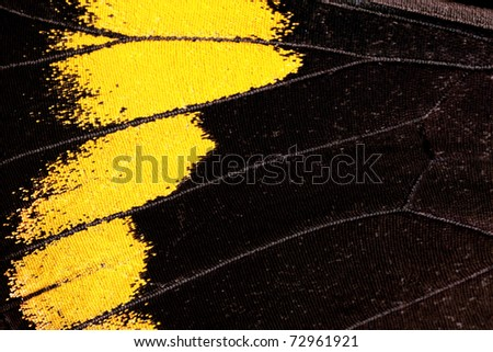 Butterfly wing, Black Jezebel, Delias nigrina - stock photo