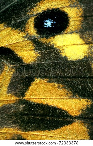 Butterfly wing, Common Brown, Heteronympha merope - stock photo