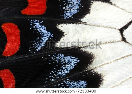 Butterfly wing, Orchard Swallowtail, Papilio Aegeus - stock photo