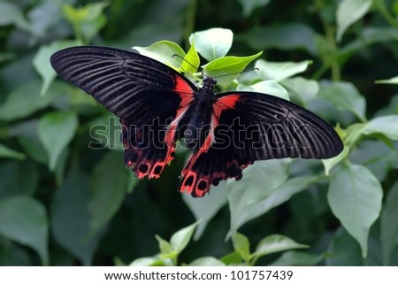 butterfly with black and red colored wings on green plant